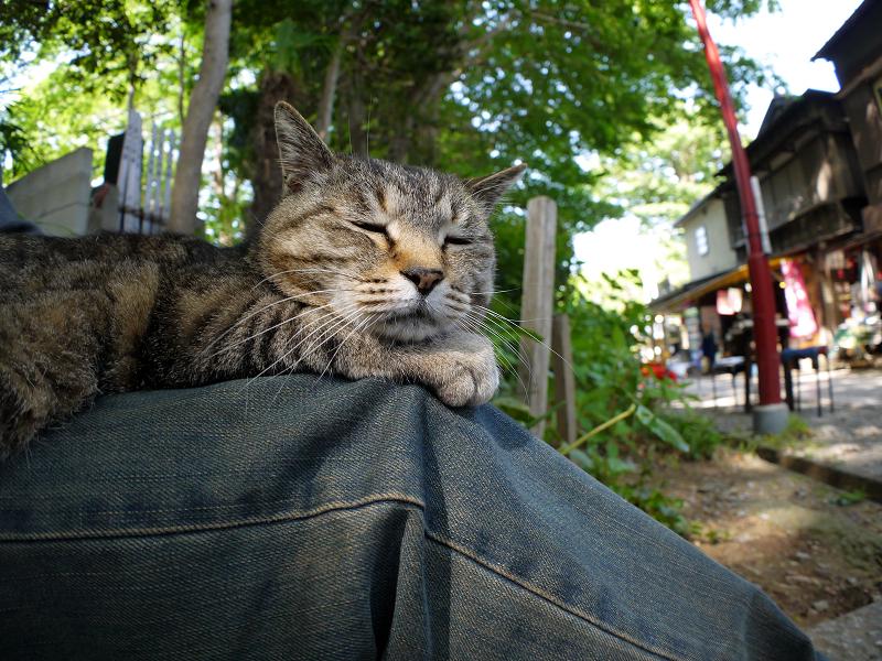 膝で寝そうなキジトラ猫2
