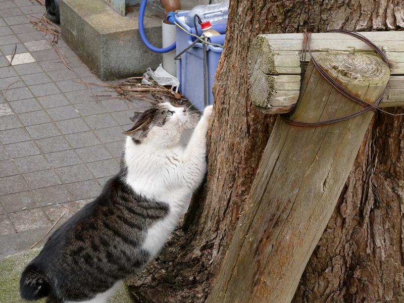 木の根元で爪研ぎのキジ白猫2