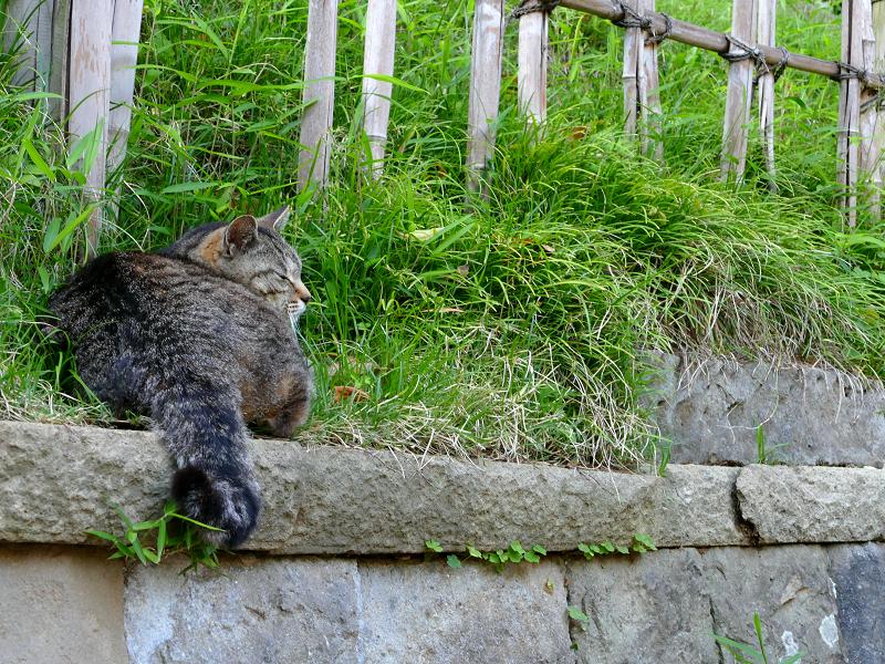 石積みの上のキジトラ猫2