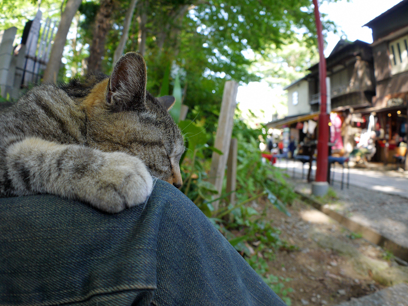 膝で寝そうなキジトラ猫3