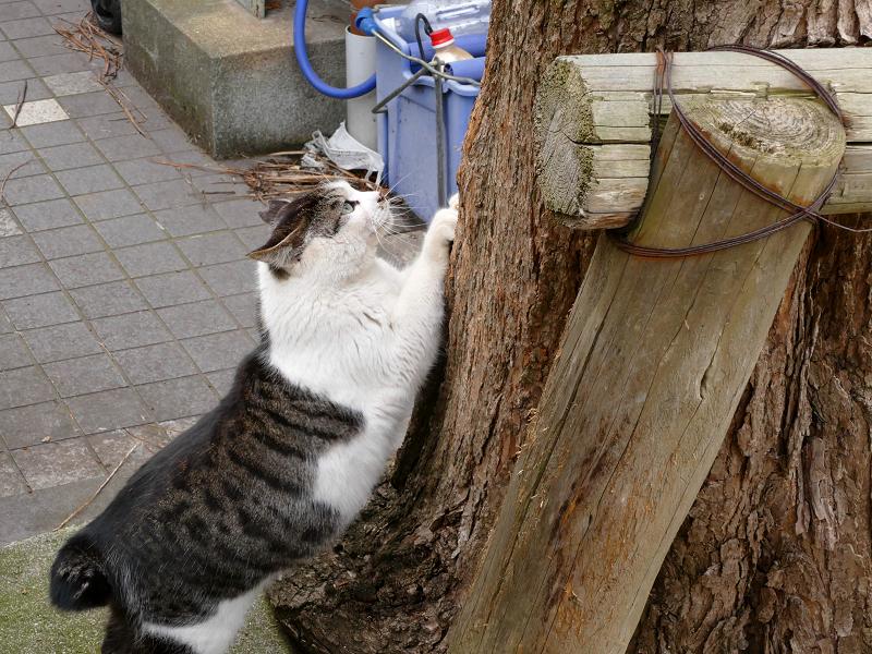 木の根元で爪研ぎのキジ白猫3