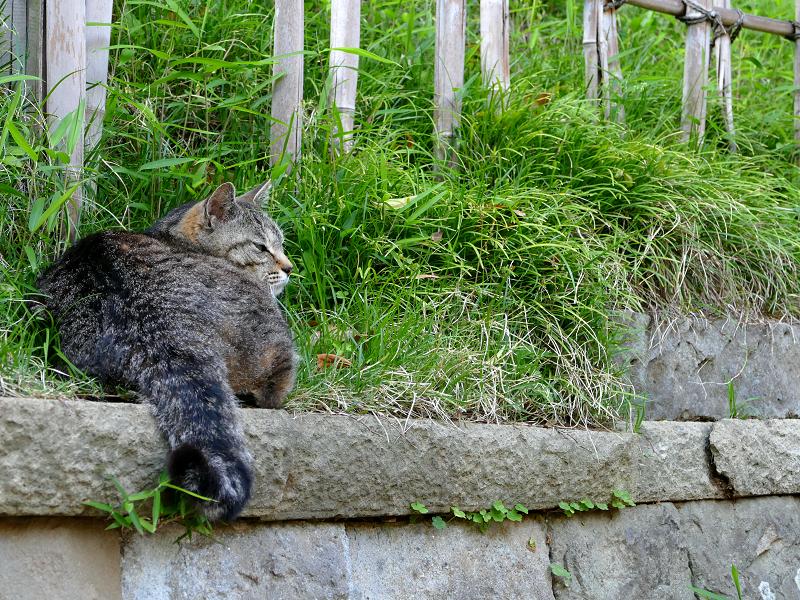 石積みの上のキジトラ猫3