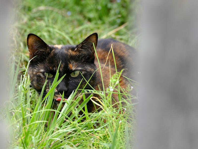 草むらで低い姿勢のサビ柄猫1
