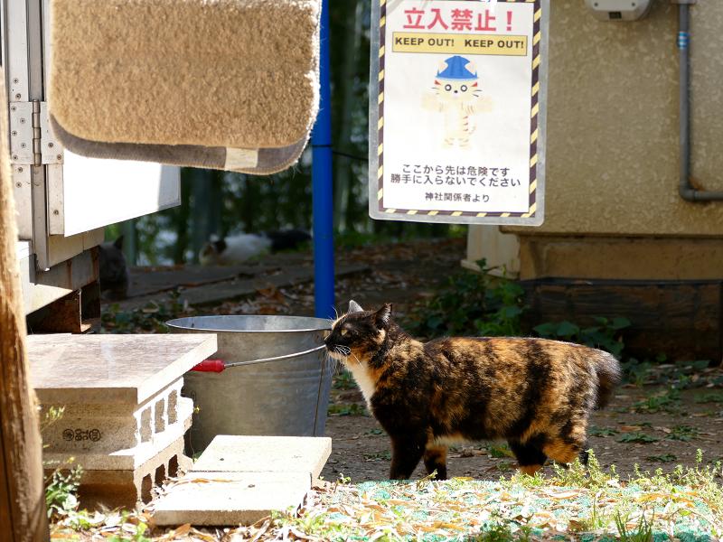 バケツのそばの三毛猫1