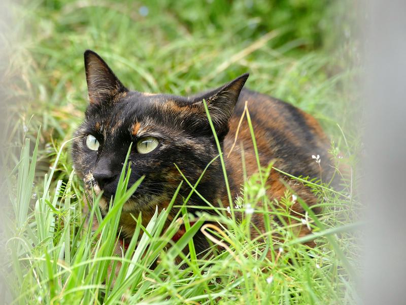 草むらで低い姿勢のサビ柄猫3