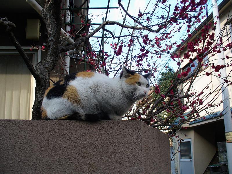 塀上の三毛猫と桃色の花1