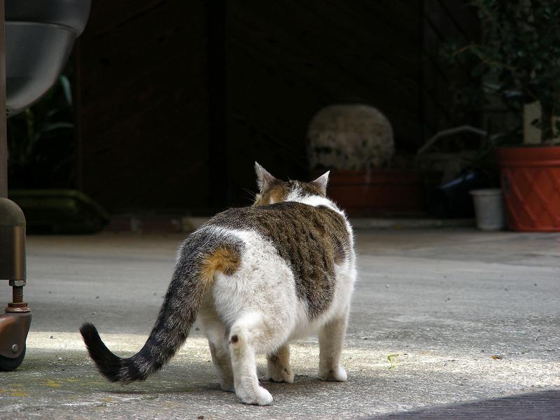 門扉とキジ白猫2