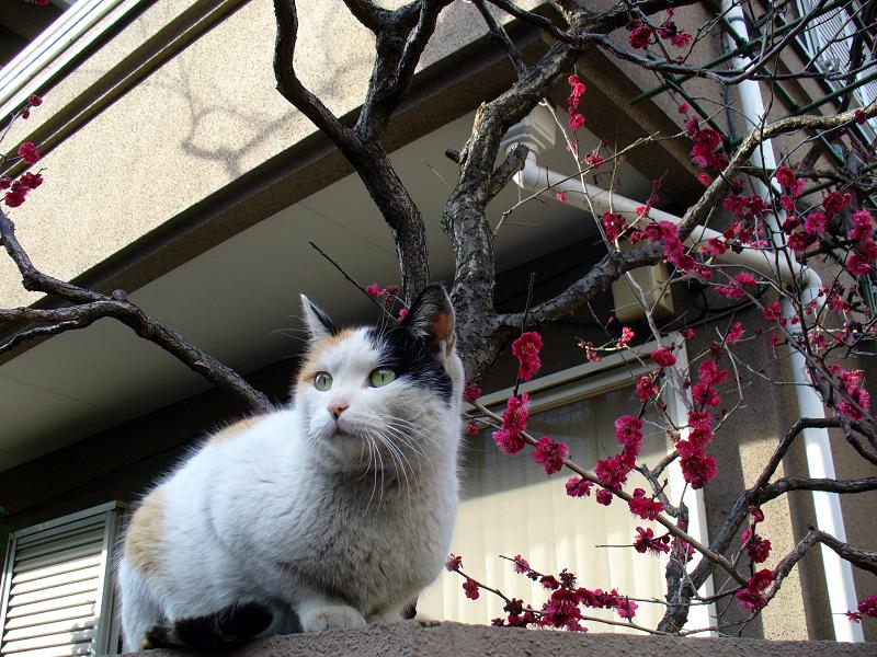 塀上の三毛猫と桃色の花2
