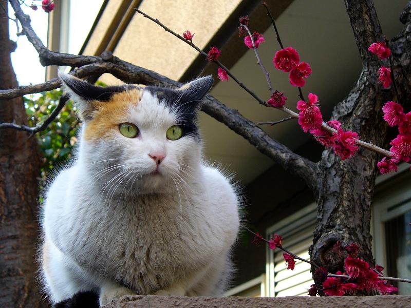 塀上の三毛猫と桃色の花3