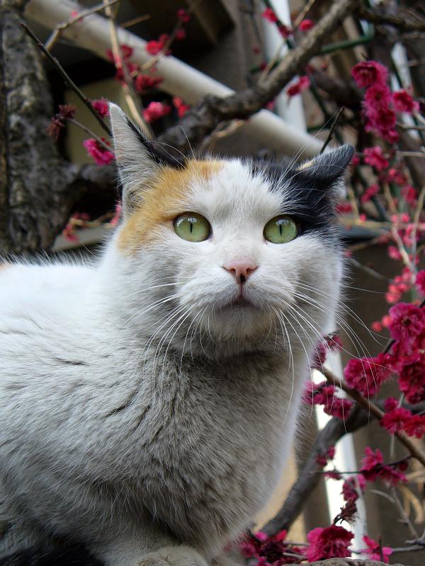 塀上の三毛猫と桃色の花4