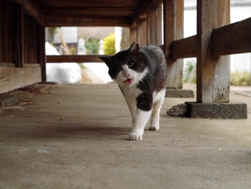 濡れ縁下を歩く黒白猫