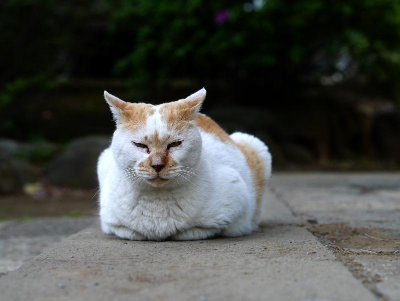 石畳香箱白茶猫1