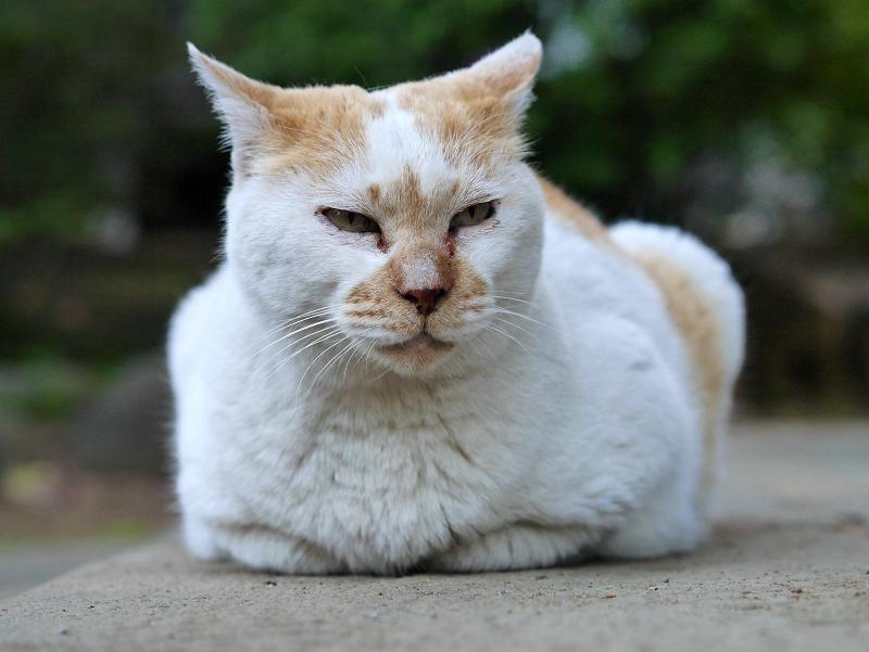 石畳香箱白茶猫2