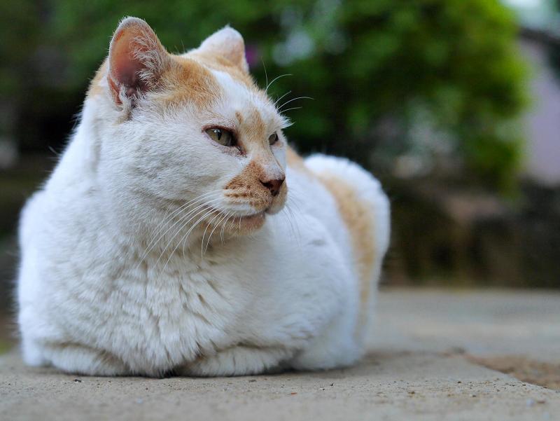 石畳香箱白茶猫3