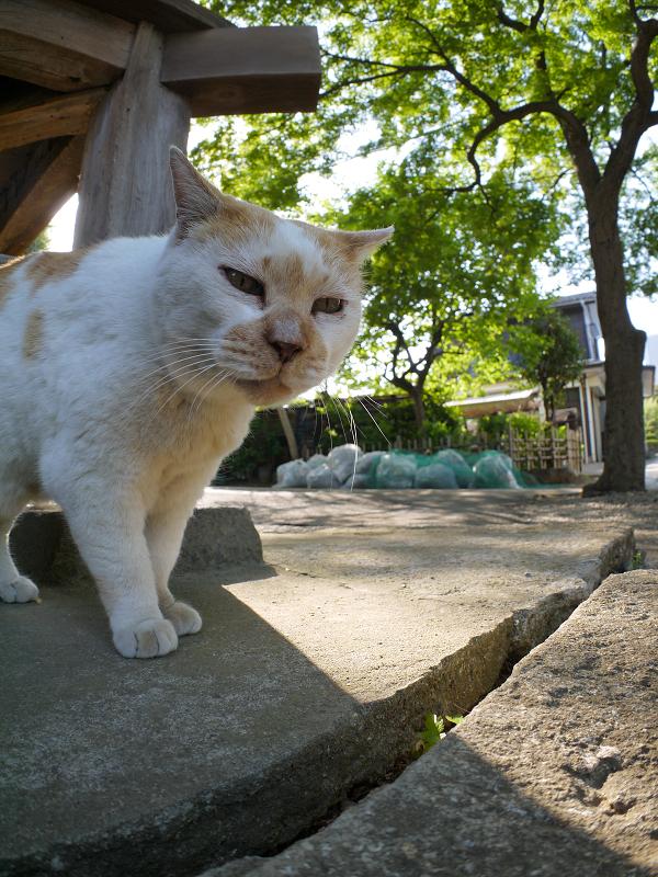 濡れ縁下を戻ってきた茶白猫4