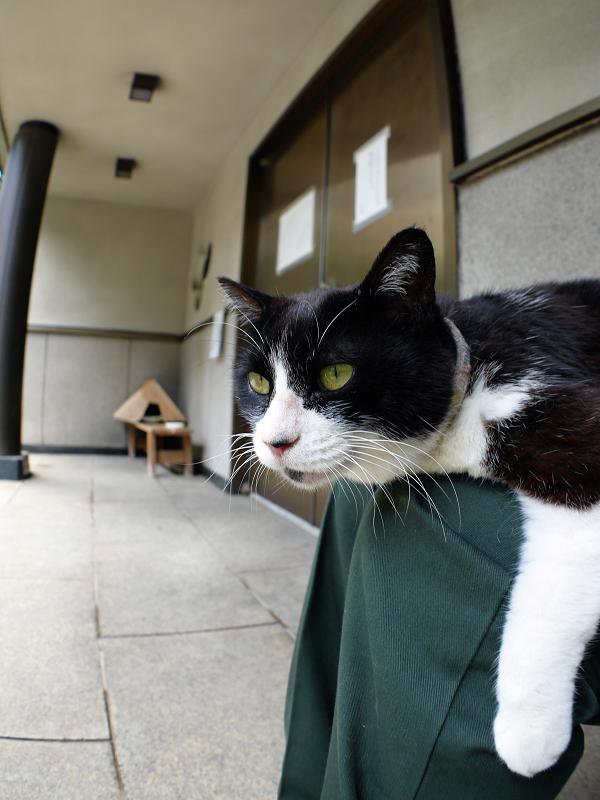 膝にお腹をくっつけて寝てる黒白猫1