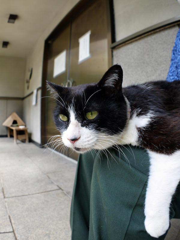 膝にお腹をくっつけて寝てる黒白猫2