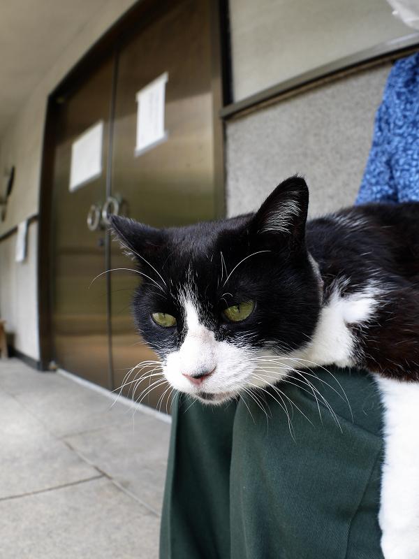 膝にお腹をくっつけて寝てる黒白猫3
