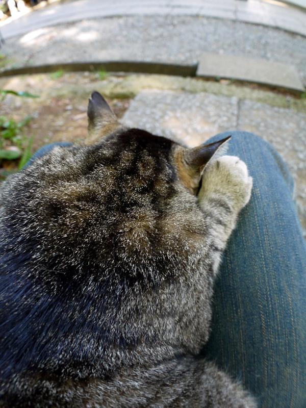膝で寝ちゃったキジトラ猫1