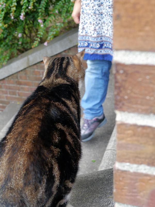 煉瓦支柱アメショー風猫を触る1