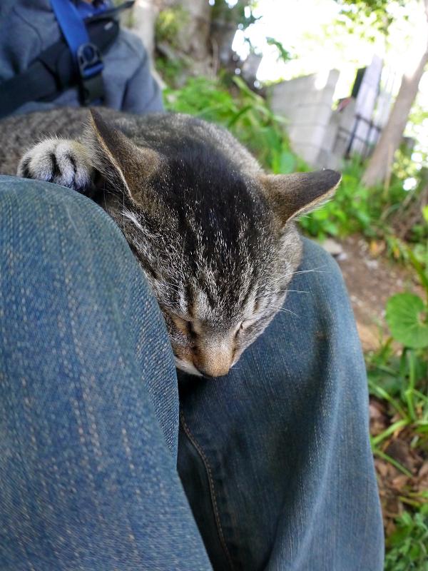 膝で寝ちゃったキジトラ猫2