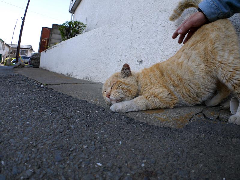 腰トントンされた茶白猫1