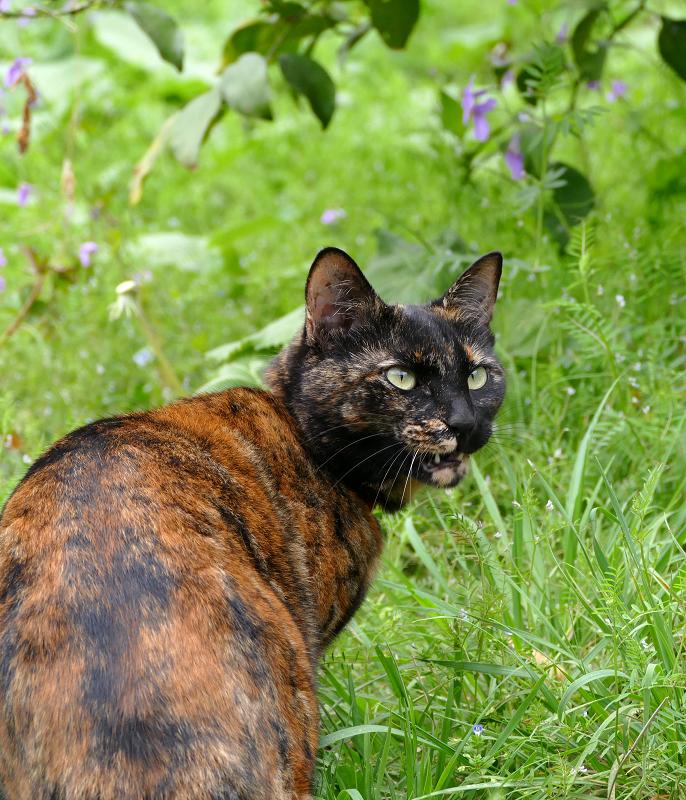 草むらで振り返るサビ柄猫1