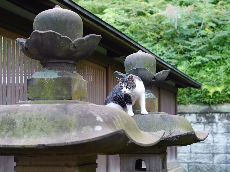 石灯籠傘キジ白猫の動き1