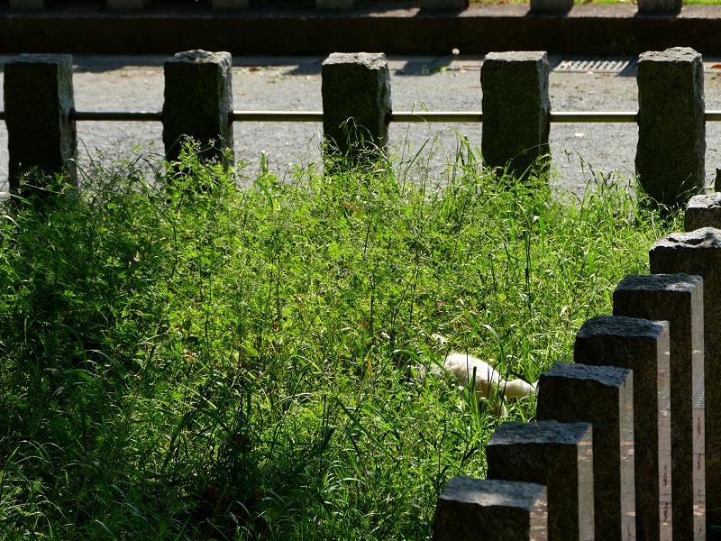 玉垣草むらの白い猫1