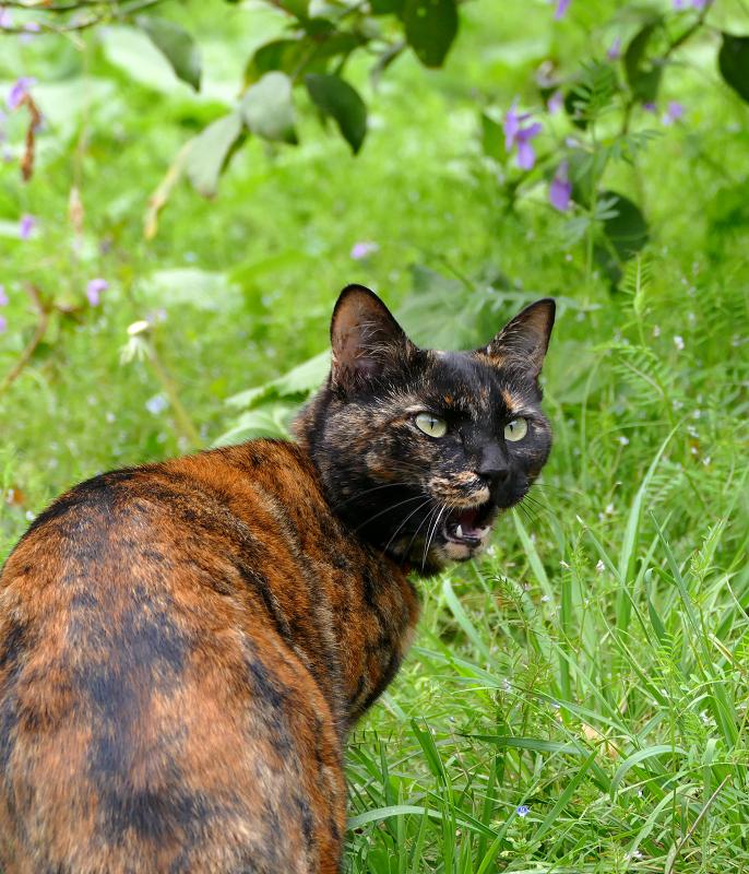 草むらで振り返るサビ柄猫2