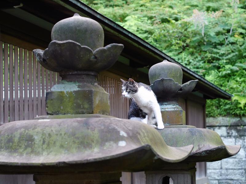 石灯籠傘キジ白猫の動き2