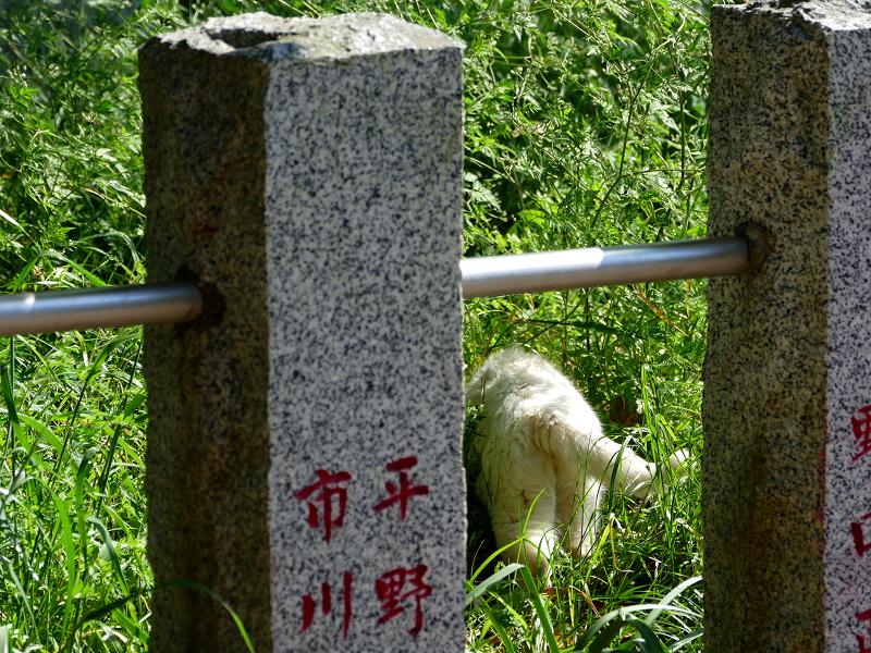 玉垣草むらの白い猫2