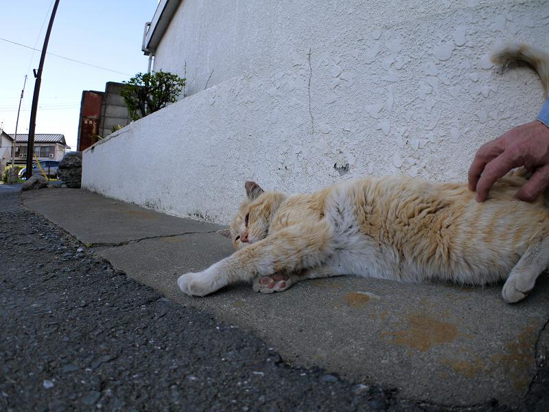 腰トントンされた茶白猫3