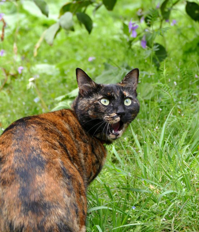 草むらで振り返るサビ柄猫3