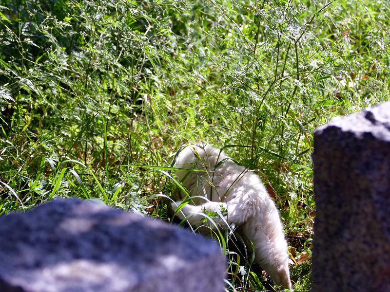 玉垣草むらの白い猫3