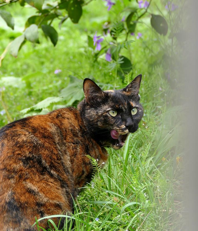 草むらで振り返るサビ柄猫4