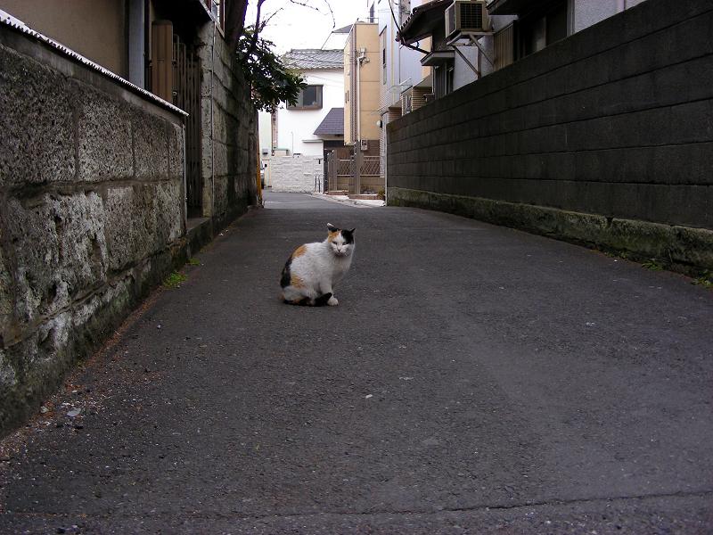 路地で動かない三毛猫1