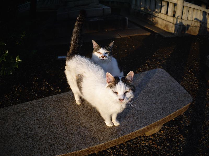 夕日境内白キジ猫1
