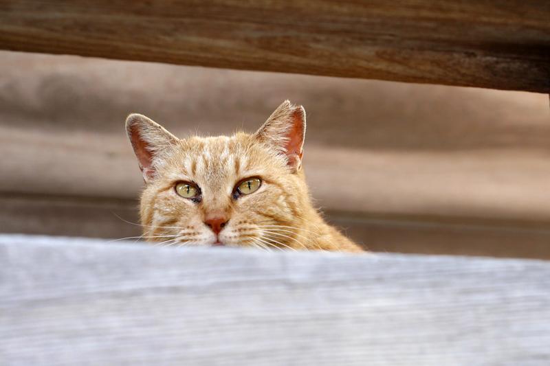 欄干隙間の茶トラ猫1