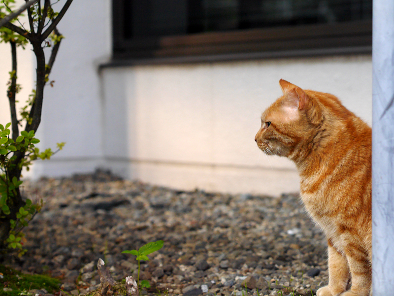 アメショー風猫の横顔1