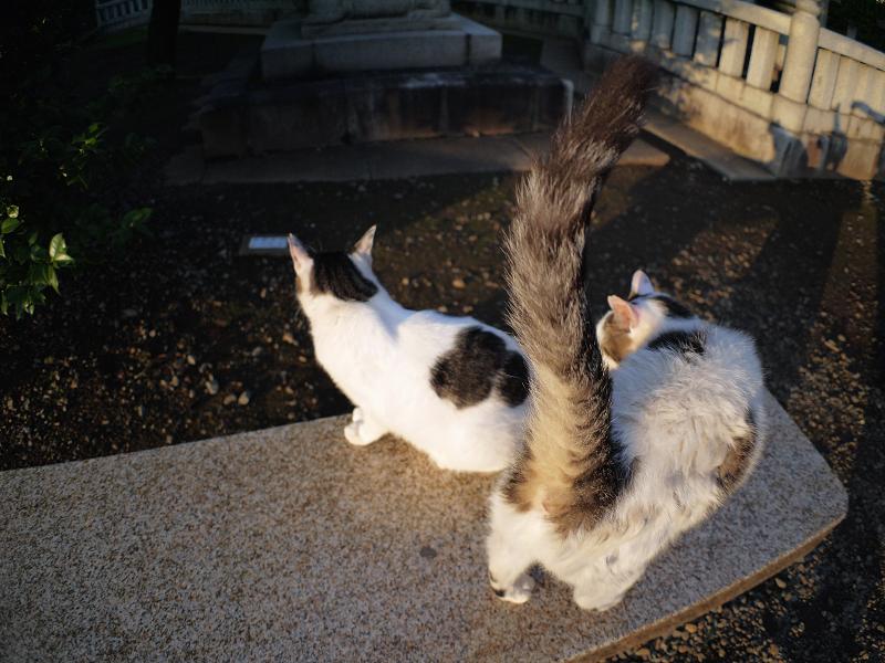 夕日境内白キジ猫2