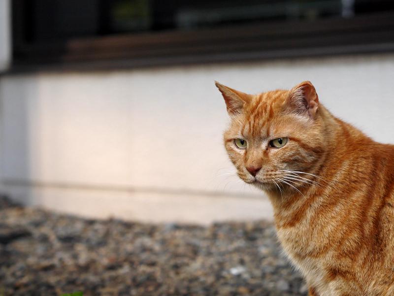 アメショー風猫の横顔2