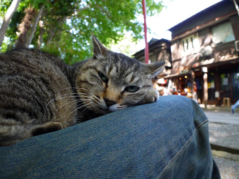 膝で寝起きしたキジトラ猫1
