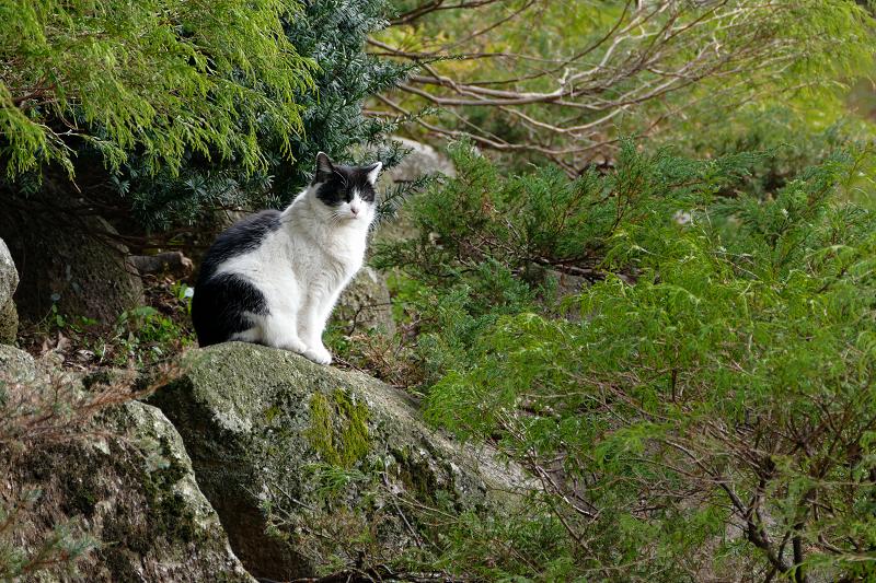 岩の上の白黒猫1