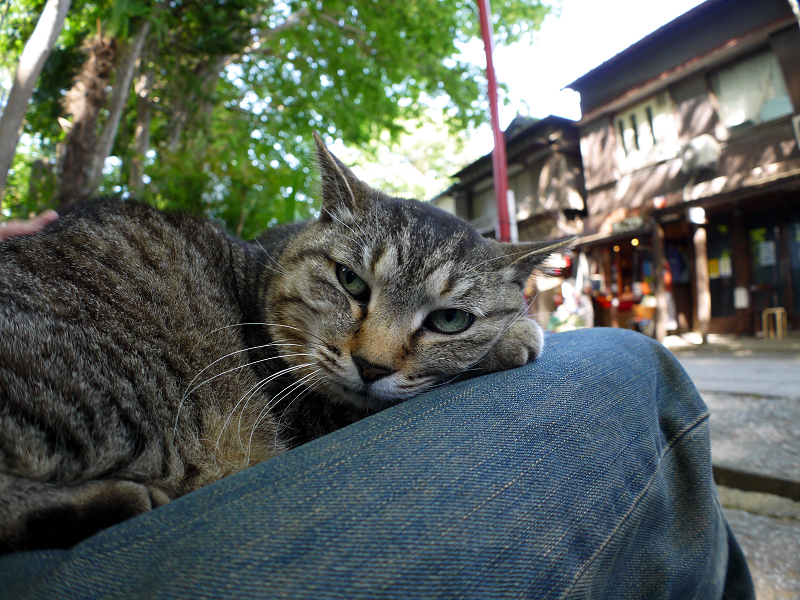 膝で寝起きしたキジトラ猫2