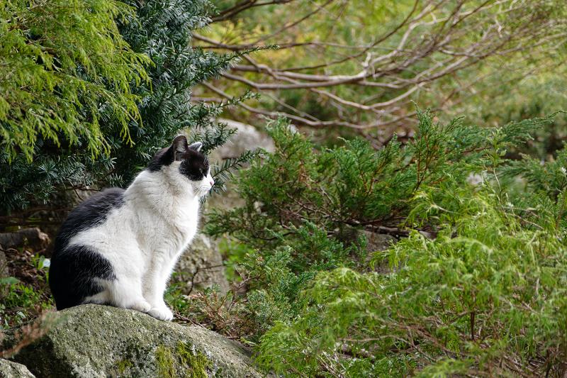 岩の上の白黒猫2