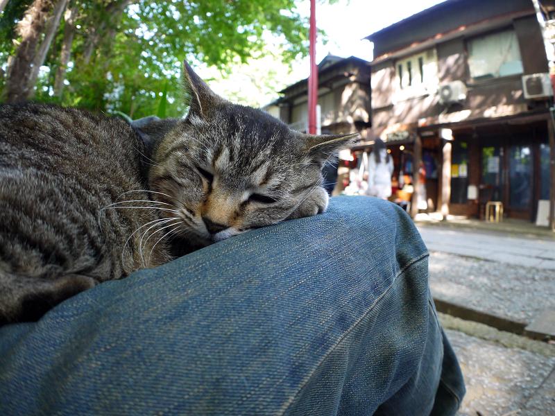 膝で寝起きしたキジトラ猫3