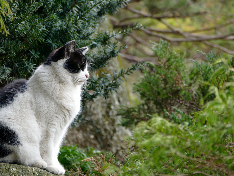岩の上の白黒猫3