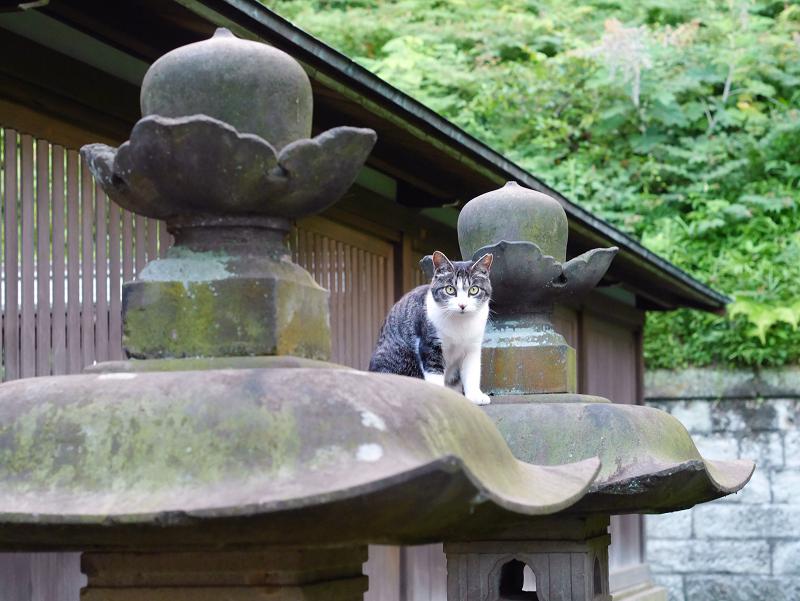 石灯籠傘とキジ白猫の視線1
