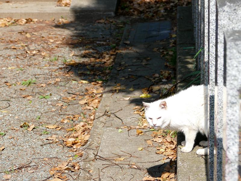 玉垣から顔を出した白猫1